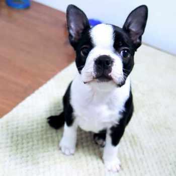Buy Boston Terrier Puppy