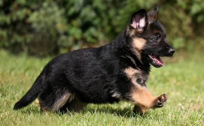Buy German Shepherd Dog