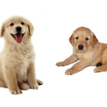 Buy Golden Retriever Puppy