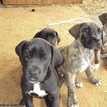 Buy Great Dane Puppies Online