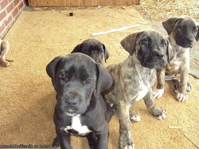 Buy Great Dane Puppies Online