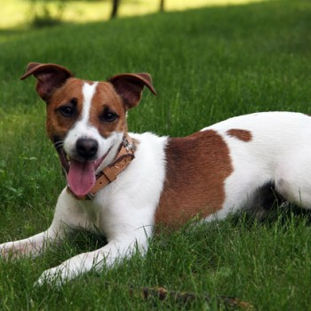 Buy Jack Russell Terrier Puppy