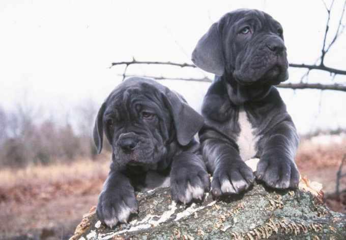 Buy Mastiff Puppy