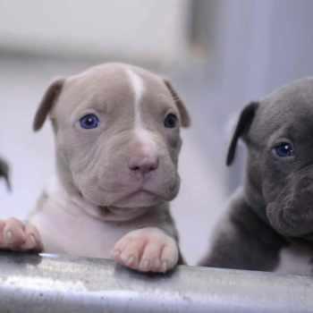 Buy Pit Bull Puppies