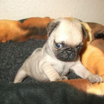 Buy Pug Puppies