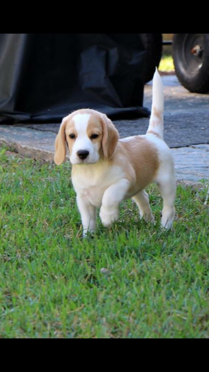 Buying A Beagle