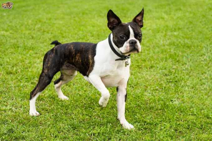 Buying A Boston Terrier