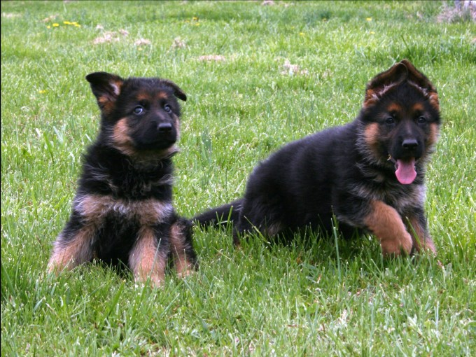 Buying A German Shepherd Puppy