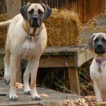 Buying A Mastiff