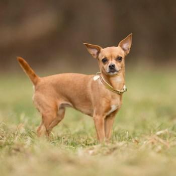 Buying Chihuahua