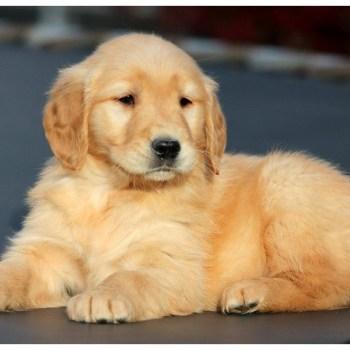 Buying Golden Retriever Puppies