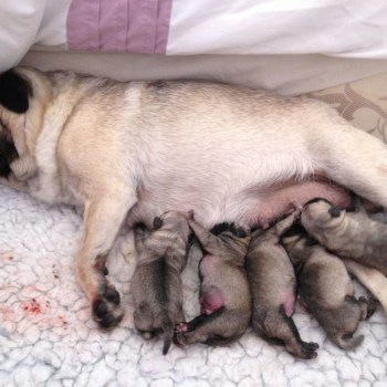 Buying Pug Puppies