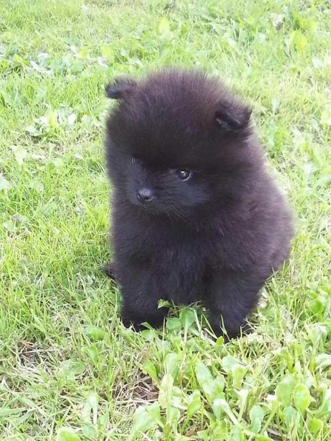 Buy Pomeranian Puppies