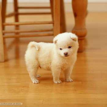 Buy Shiba Inu Puppy