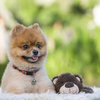 Buy Teddy Bear Pomeranian