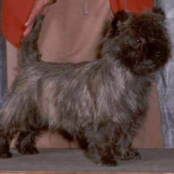 Cairn Terrier Breeders Mn