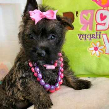 Cairn Terrier Puppies Florida