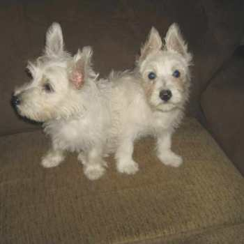 Cairn Terrier Puppies For Sale In Nj