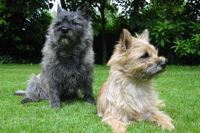 Cairn Terrier Rescue Florida