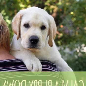 Calm Labrador Retrievers