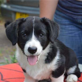 Cardigan Corgi Puppies For Sale