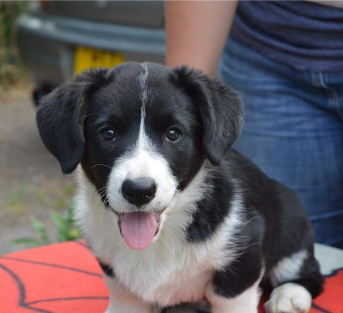Cardigan Corgi Puppy For Sale