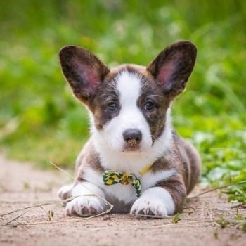 Cardigan Welsh Corgi Puppies For Sale In Ohio