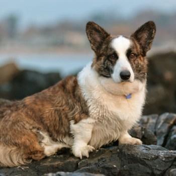 Cardigan Welsh Corgi Puppies For Sale Price