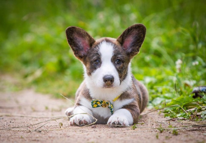 Cardigan Welsh Corgi Puppies Price