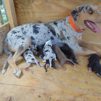 Catahoula Cur Puppies For Sale In Louisiana