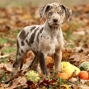 Catahoula Cur Puppies