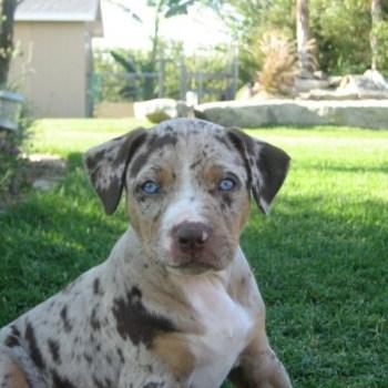 Catahoula Puppies Florida