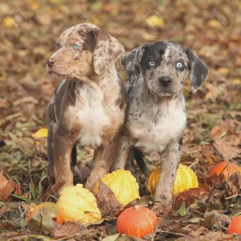 Catahoula Puppies For Sale In Colorado
