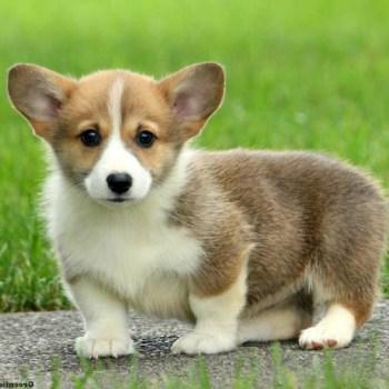 Cheap Corgi Puppies For Sale