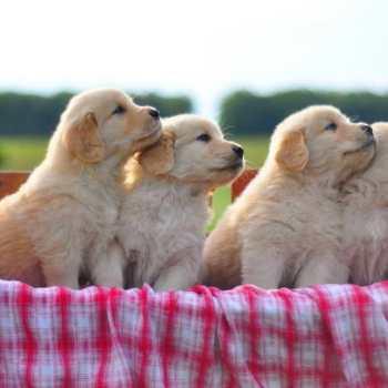 Cheap Golden Retriever Puppies For Sale In Ohio