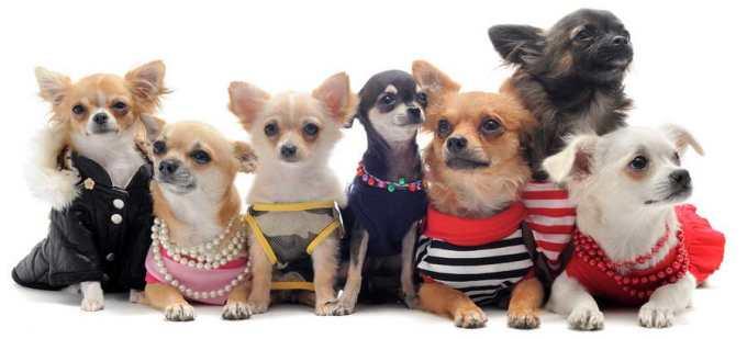 Chihuahua Accessories