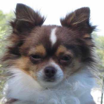 Chihuahua Adopt