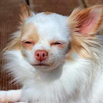 Chihuahua Allergies