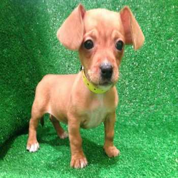 Chihuahua And Dachshund Mix Puppies For Sale