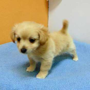 Chihuahua And Pomeranian Mix Puppies For Sale