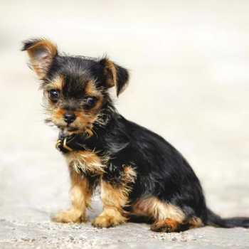 Chihuahua And Yorkie Mixed