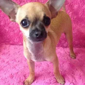 Chihuahua Applehead Puppies For Sale