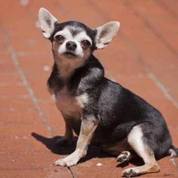 Chihuahua Asthma