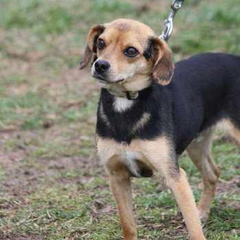 Chihuahua Beagle Mix