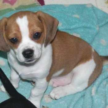 Chihuahua Beagle Puppies