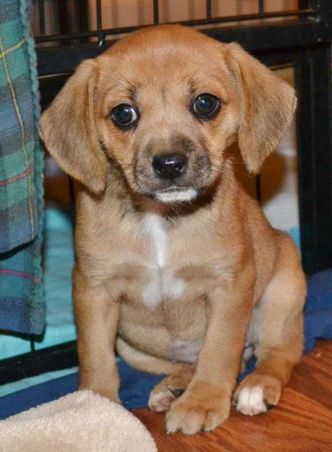 Chihuahua Beagle Puppy