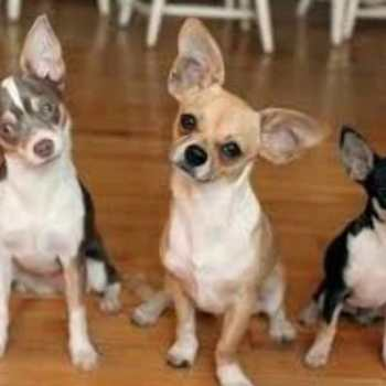 Chihuahua Behavior Problems