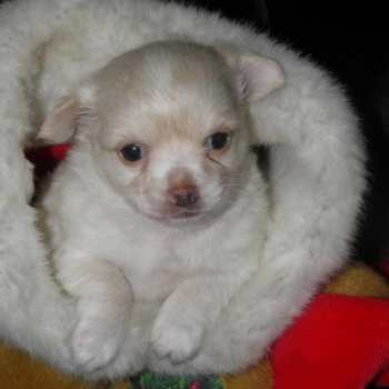 Chihuahua Bichon Mix Puppies For Sale