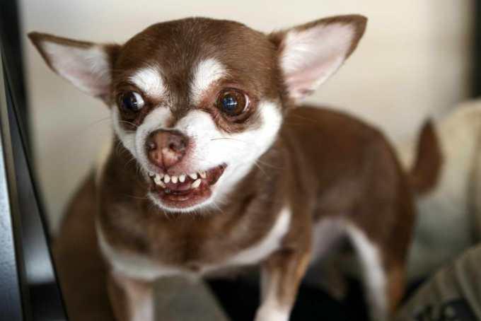 Chihuahua Biting Aggression