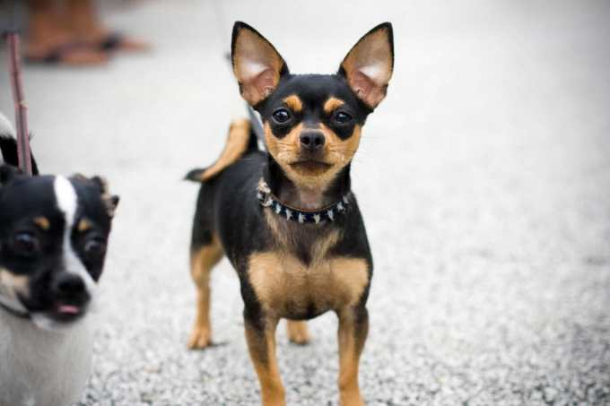 Chihuahua Black And Brown